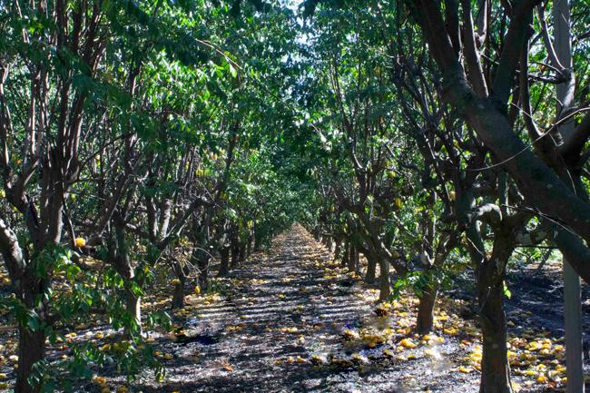 Starfruit grove