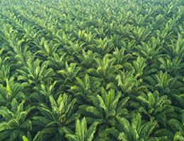 Coconut palm grove