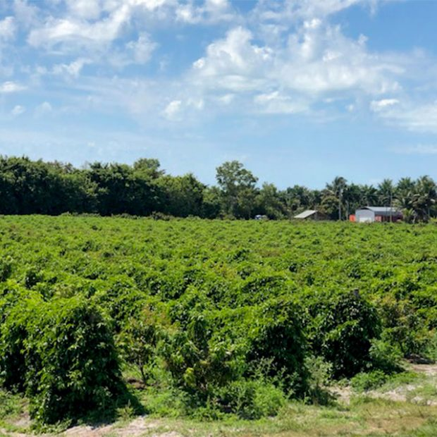 Passionfruit vineyard