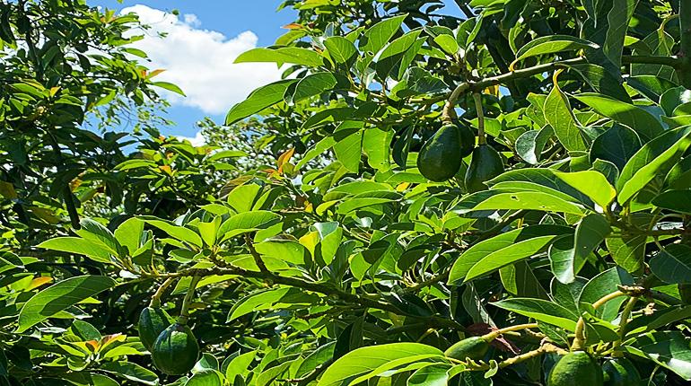 avocado skyline