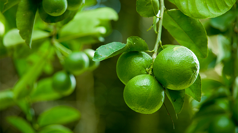 Growing limes