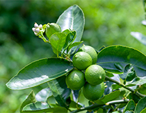 Lime tree with fruit and flower