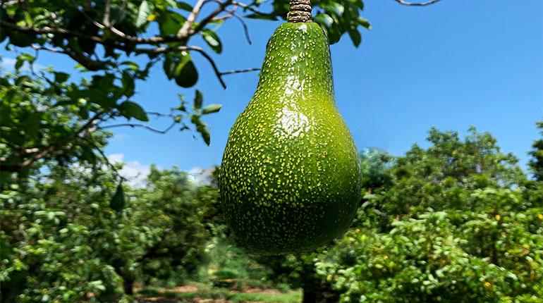The lone avocado, more to come
