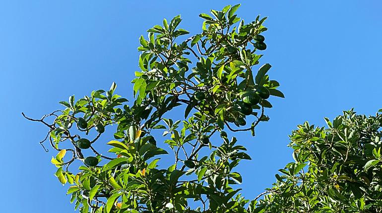 Overhead avocados