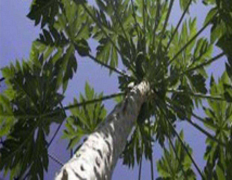 Looking up the base of a Solo papaya bush