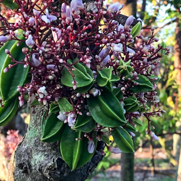 Starfruit trees starting their blooms