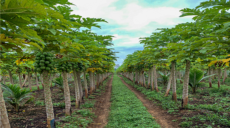 1-year-old papaya plants grow fast
