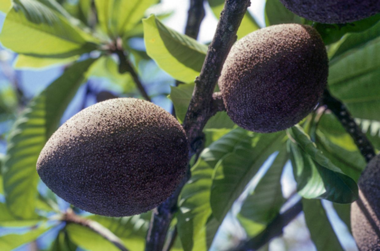 Mamey sapote on the tree