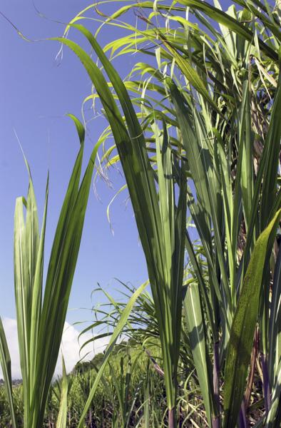 Stalks of sugarcane