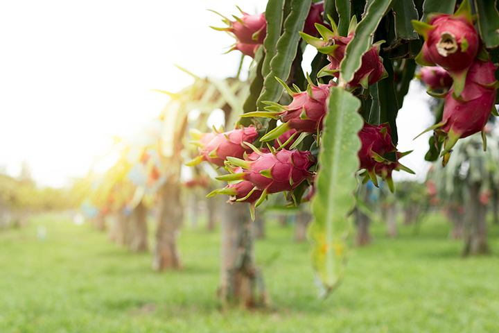 dragonfruit, early morning