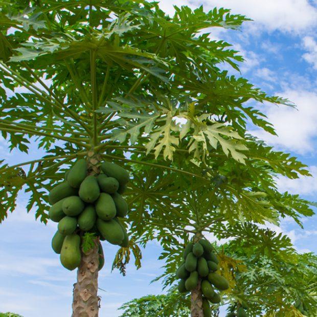 How papaya grows…