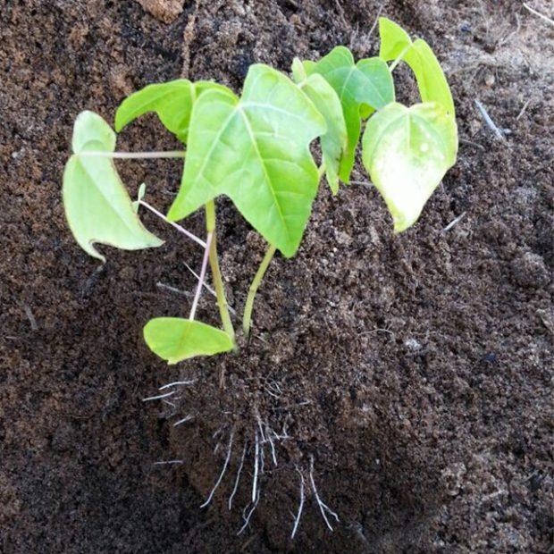 Seedling now…