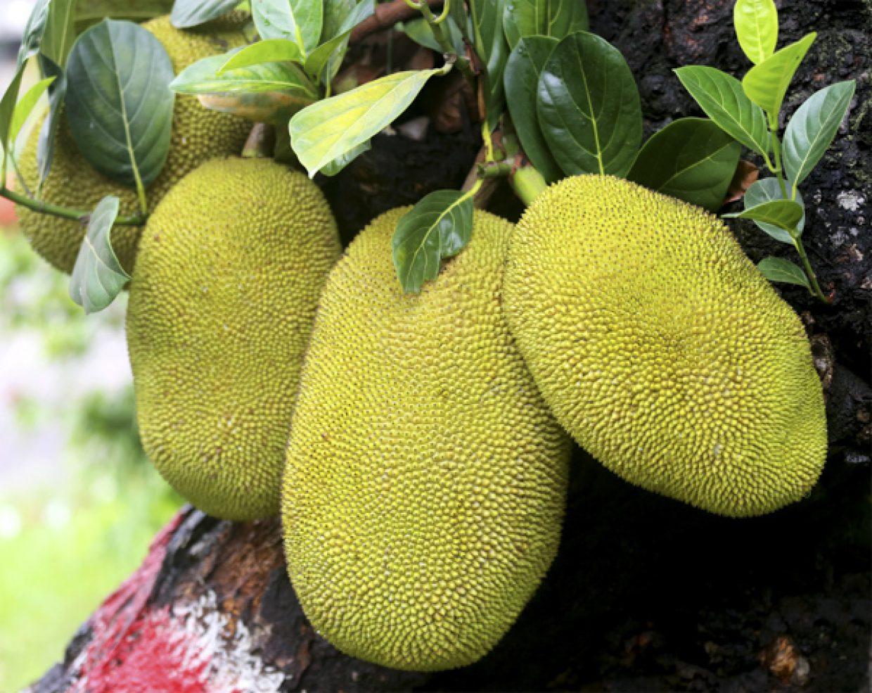 Jackfruit in a tree