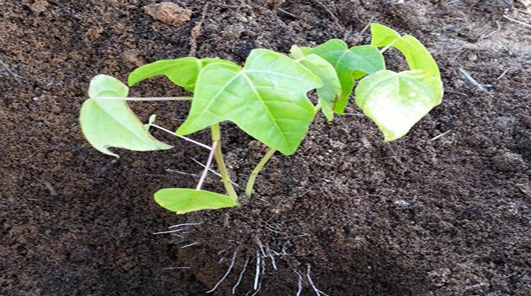 Seedling planted