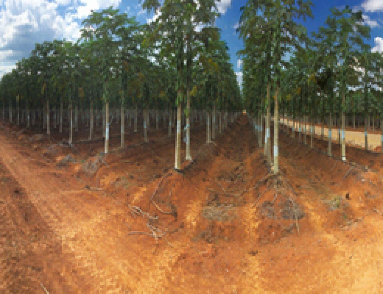 papaya panorama