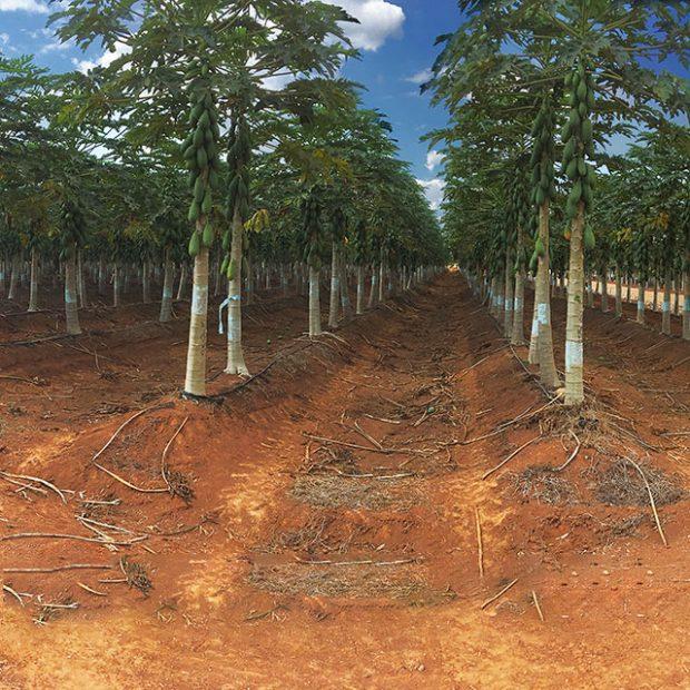 360º of a papaya field