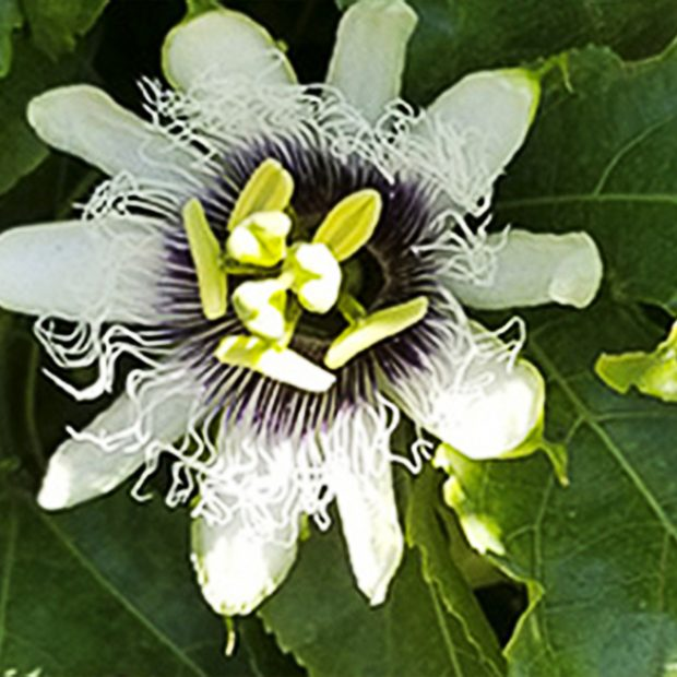 The flower of the passionfruit
