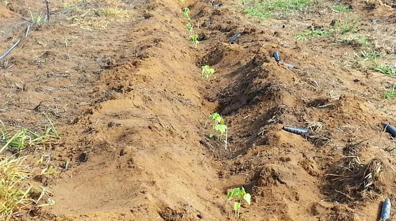 Seedlings in a row