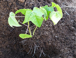 Papaya seedling