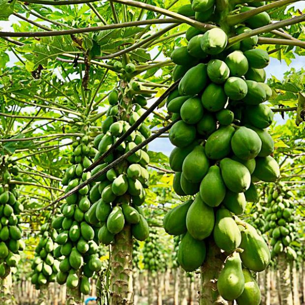 Growing Solo papayas