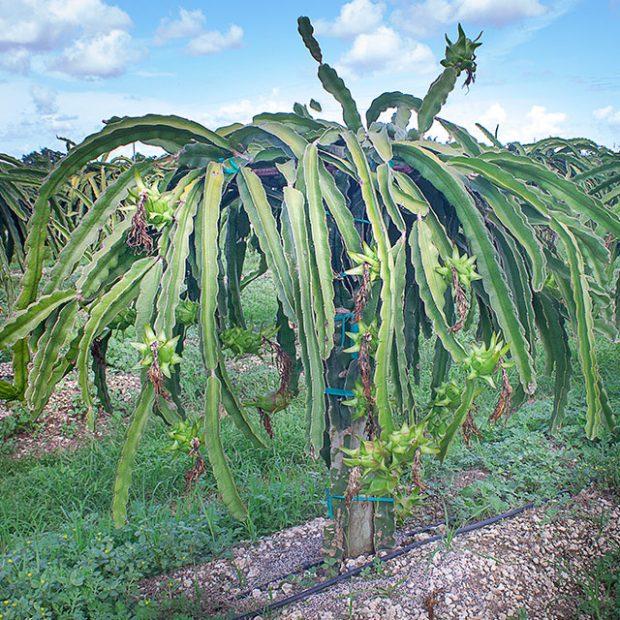 Cactus in the tropics?