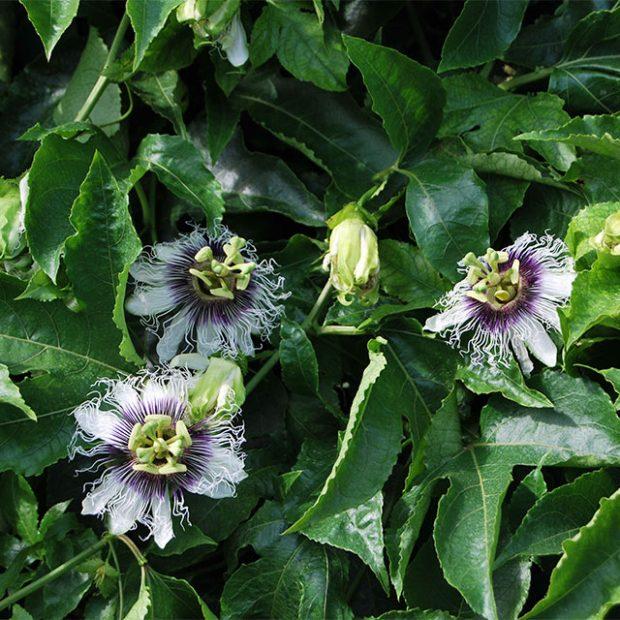 Passionfruit's flower