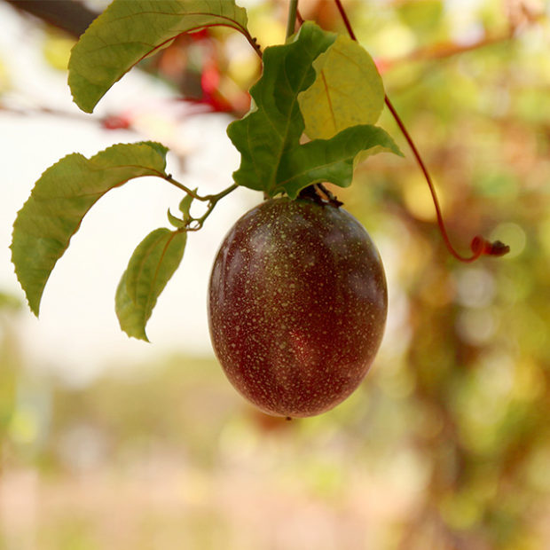 Passionfruit tells you when its ready for harvesting