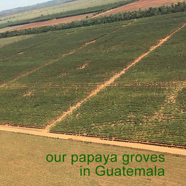 Our papaya fields