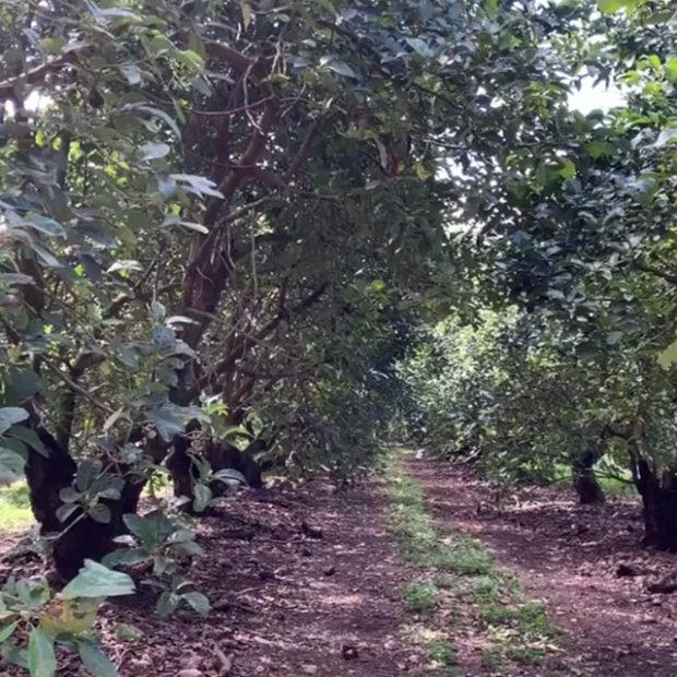 Tropical avocado seasons
