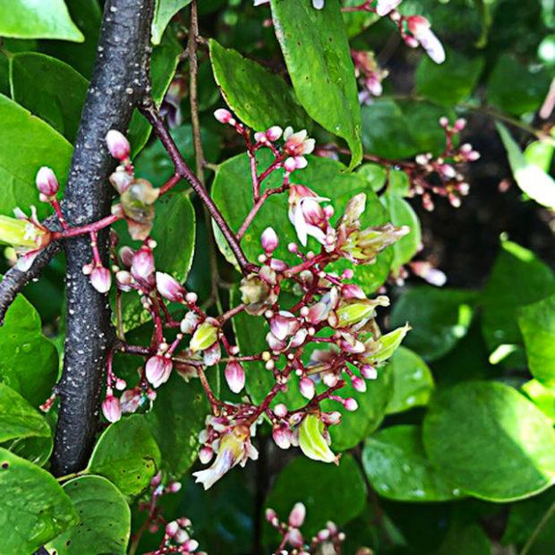 Starfruit's flower