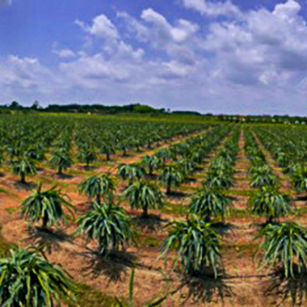 Dragonfruit field panorama