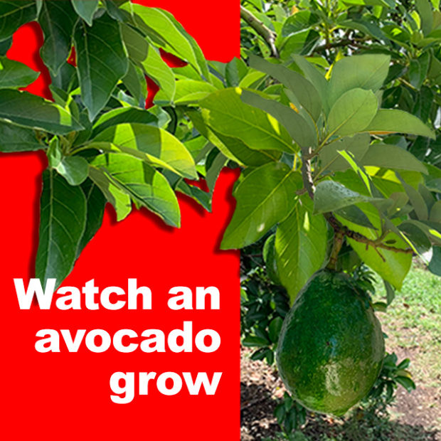 Watch an avocado grow