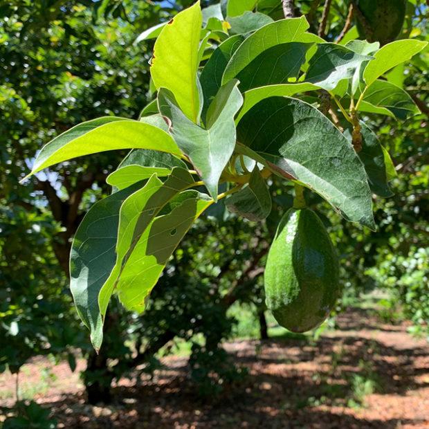 Walk in an avocado grove