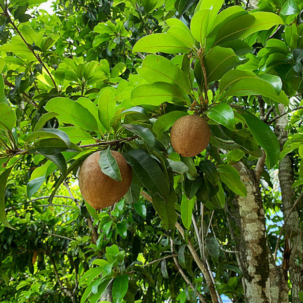 Growing mamey sapote