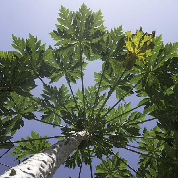 Up a papaya bush