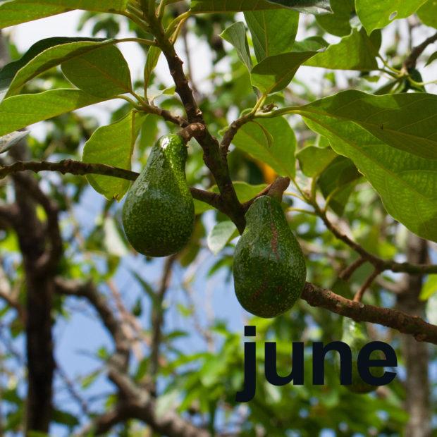 June's tropical avocado month