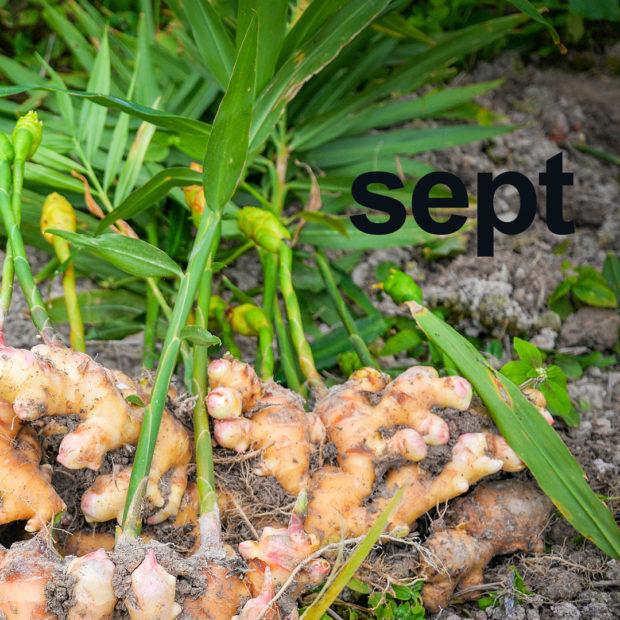 Ginger is September's month